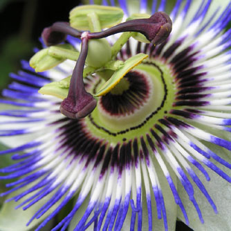 Passion Flower Aids Sleep Quality