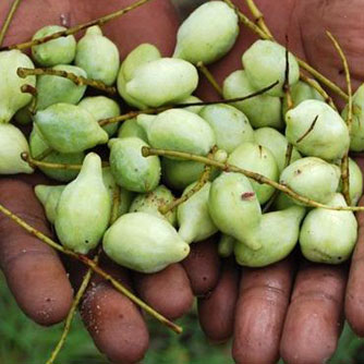 Kakaduplum fruit