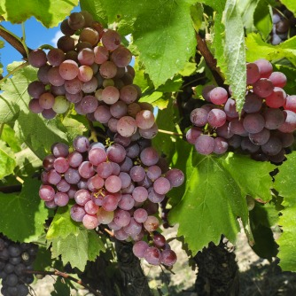 Grapes May Alleviate Arthritis