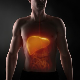 The Liver Grows by Half During the Day, Shrinks at Night