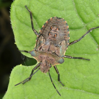 """Kissing Bugs"" Disease: Undertreated Public Health Threat?"