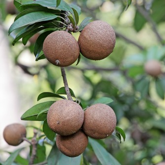 Anti-Cancer Properties of Rain Forest Fruit