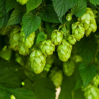 Hops Compound May Improve Cognitive Skills