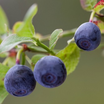 Bilberries Offset Effects of Dietary Fat