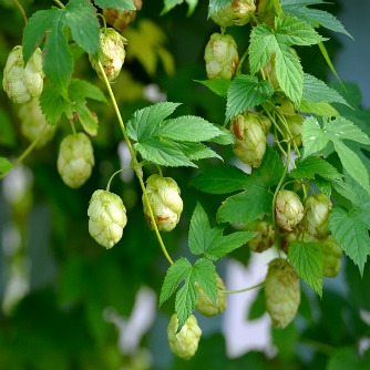 Potential Protective Effects of Hops Compound