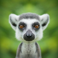 Lessons from the Long-Lived Lemur