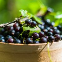 Blackcurrants Benefit the Brain