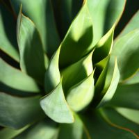 Agave Extracts Help Improve GI Health