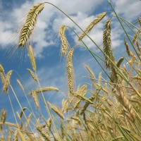 Wheat Protein Linked to Non-Celiac Gluten Sensitivity