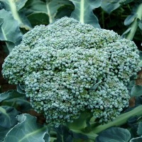 Anti-Aging Powers of Broccoli Enzyme