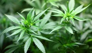 Cannabis Reverses Brain Aging
