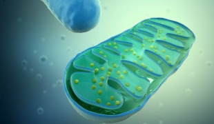 Mitochondrial 'Circuit Breaker' Protects Heart from Damage
